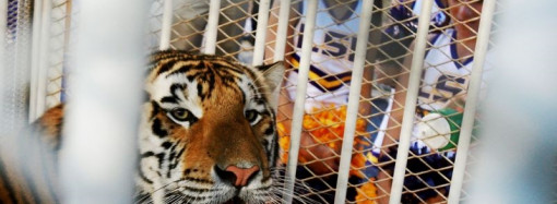LSU's live tiger mascot has cancer, won't appear at home games