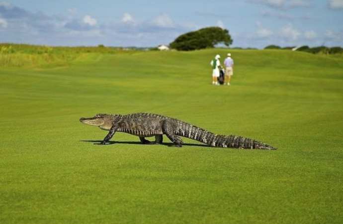 Alligator drags golfer into pond, gets foiled by putter; video