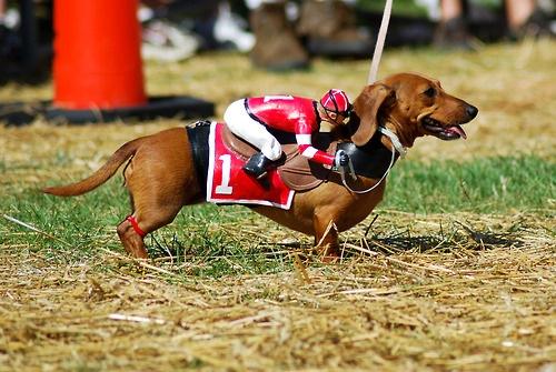 Australia will host wiener dog racing