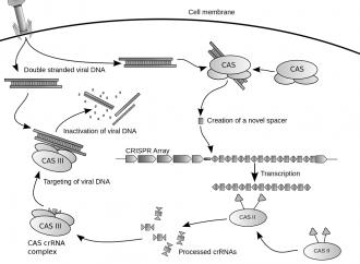 CRISPR Genome Editing: Cure or Curse?