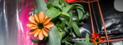 Space Blossom: First Flower Grown in Microgravity